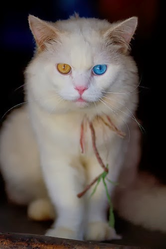 Myths behind different eye colors of Turkish Angora Cat