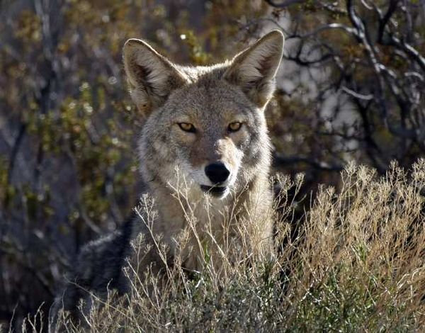 new beginning..my journey through nature...: Coyotes and the ...