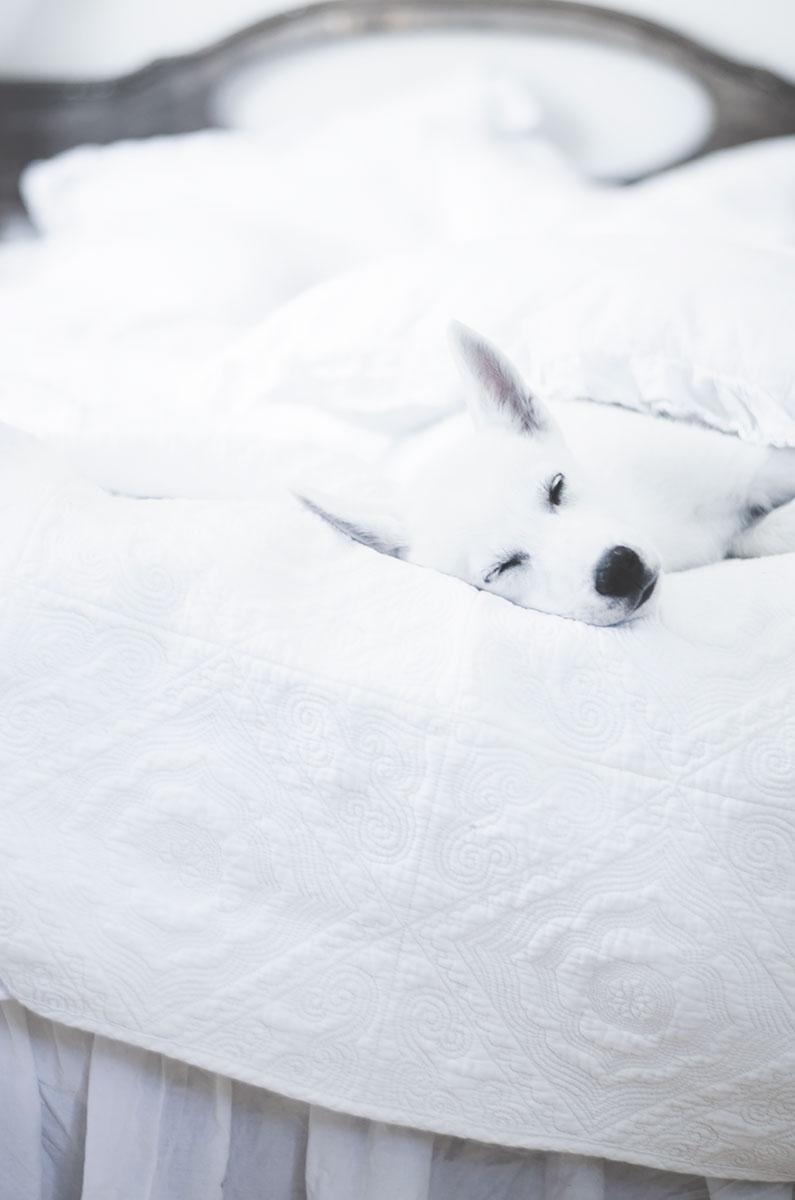 siberan husky