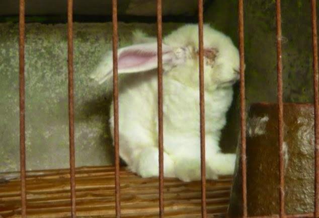 chinese angora rabbit - photo #21