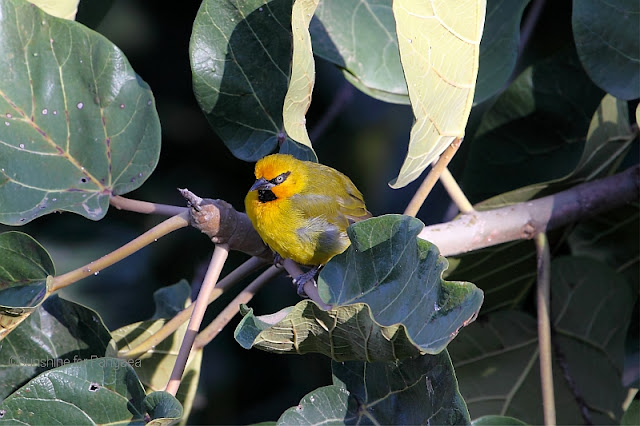 Spectacled Weaver Ploceus ocularis in a tree
