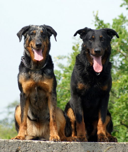 Two uncropped Beaucerons: one in each of their accepted colors ...
