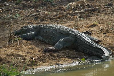 A photograph of a Mugger Crocodile taken in Yala, Sri Lanka
