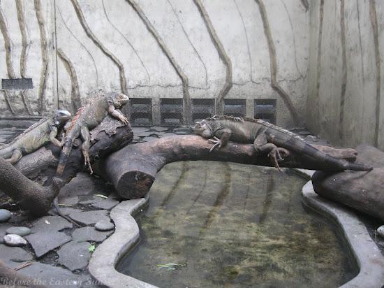 Iguana of Manila Zoo