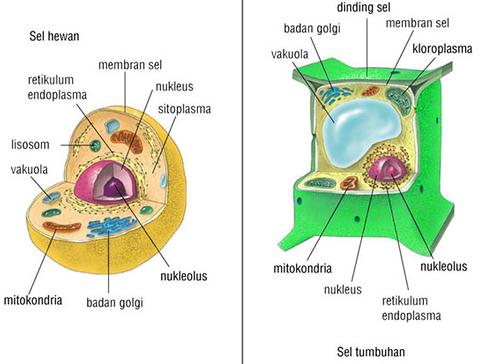 Bagian-bagian serta Perbedaan Sel Hewan dan Sel Tumbuhan