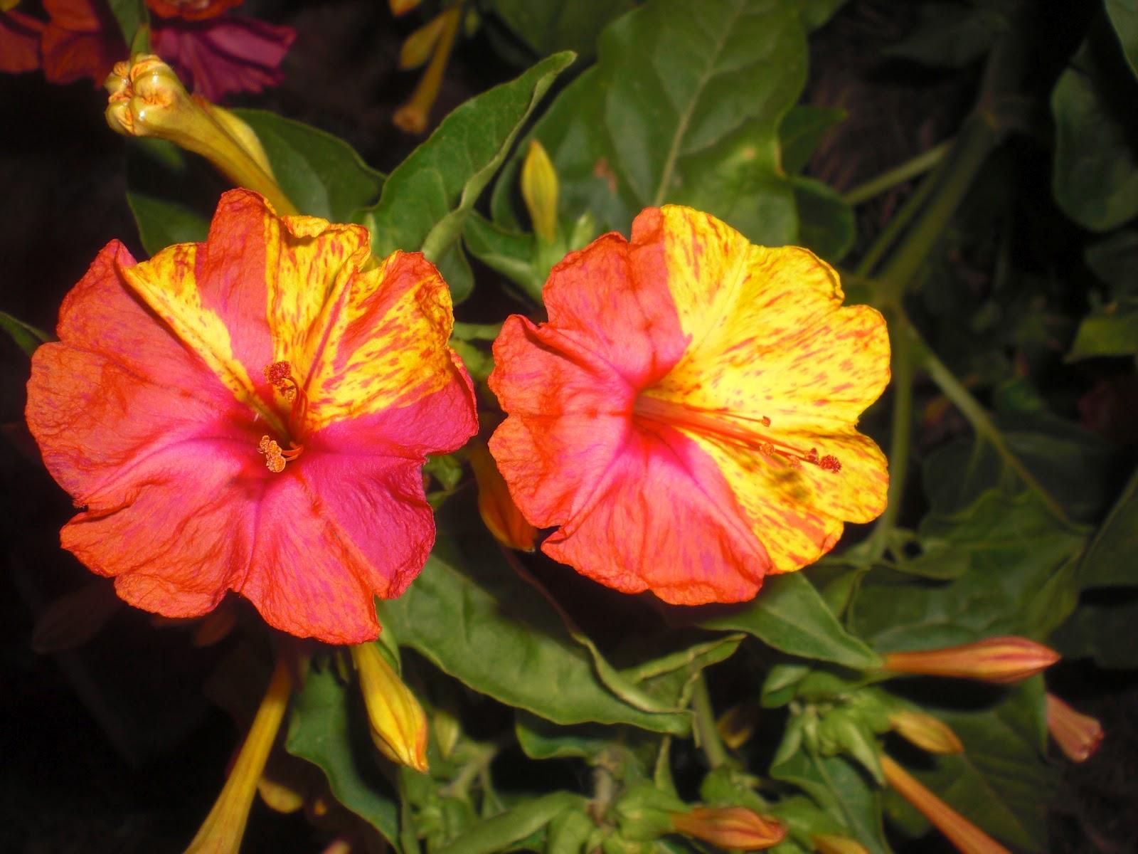 Imagenes De Flores De Varios Colores - Fotos de las flores de la Vicaria o Catharanthus roseus