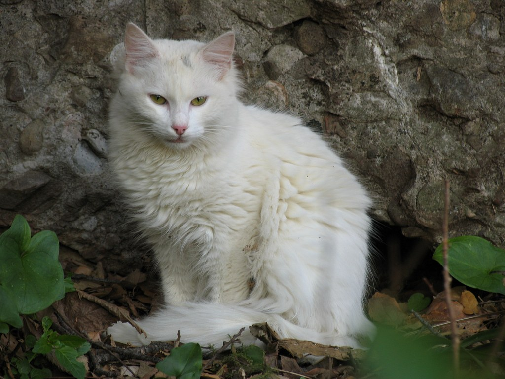 White Cat Pics And White Cat Wallpapers And Photos And Images