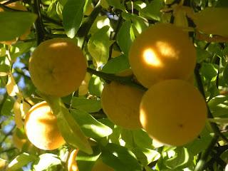 trifoliate-orange-Poncirus-trifoliata