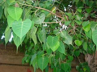 Importance of Banyan Tree in Paternally - Pitru Dosh ke Duran Pipal ke ped ka mahatva.