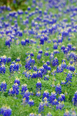 Texas Bluebonnets, Lupinus texana