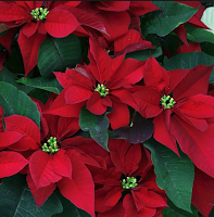 Poinsettia Blooming