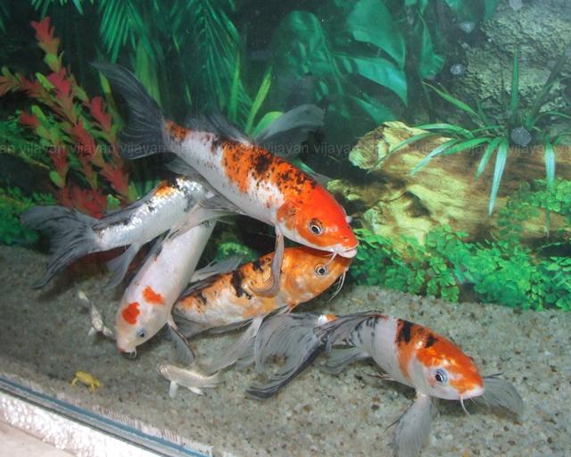 Koi fish photos wallpapers the fun bank for Koi fish tank setup