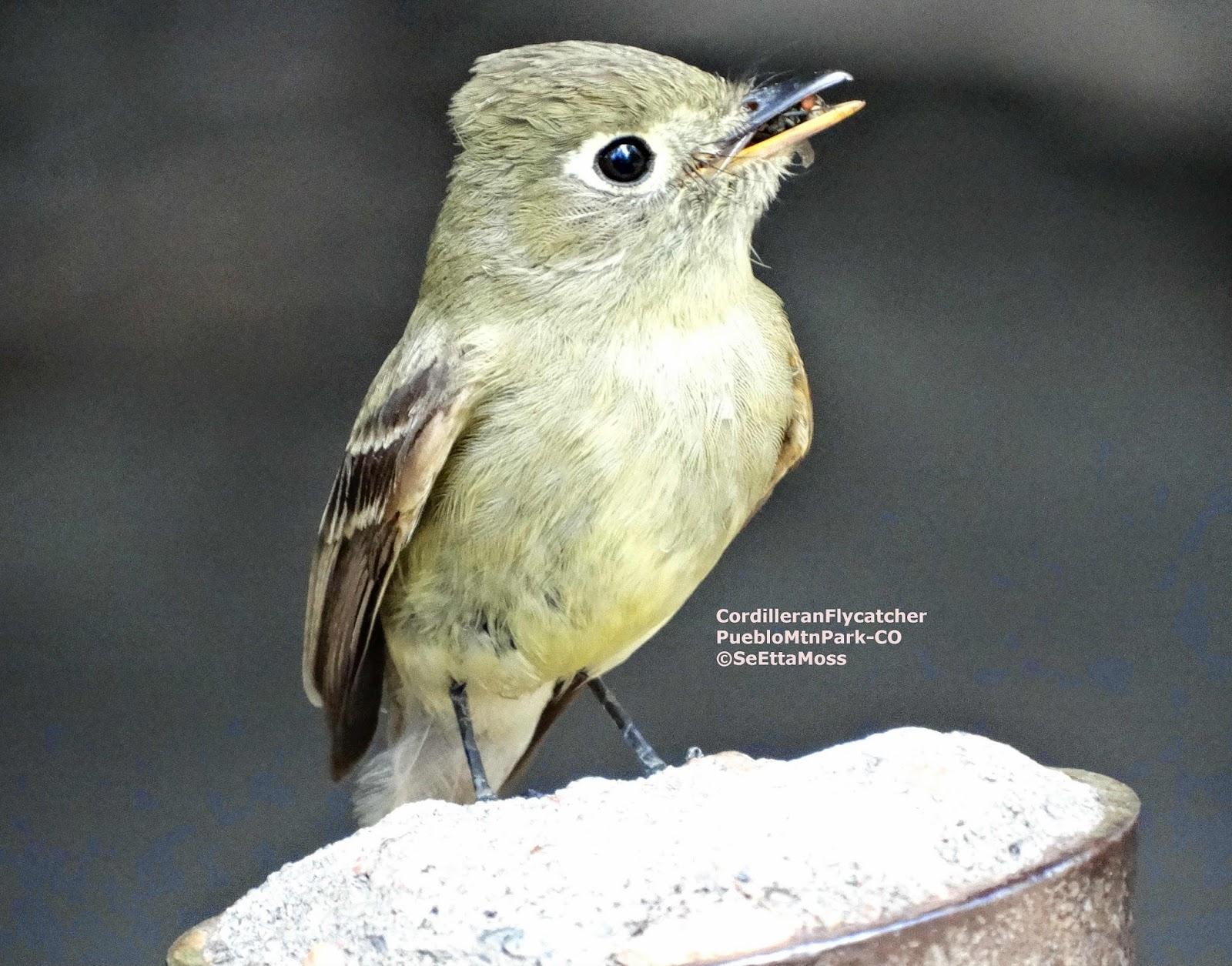 Cordilleran Flycatcher Flying