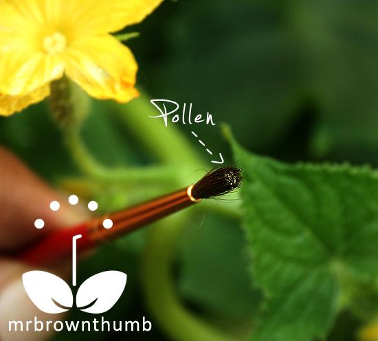 Cucumber Blossom Pollen