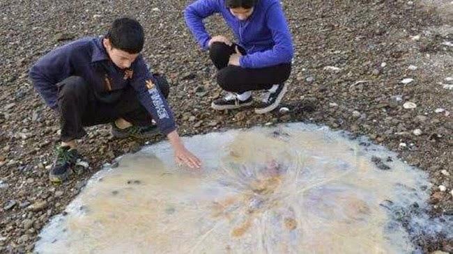 Descubren especie gigante de medusa en Australia, simplemente impresionante
