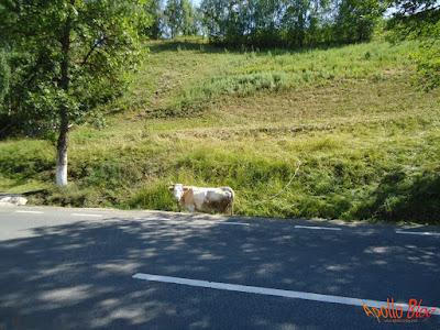 Vaca in sant