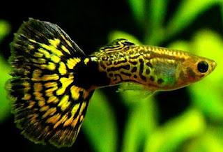 Budidaya Ikan Mas Koki Pdf