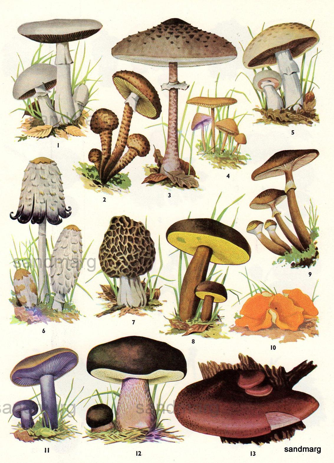 sandmarg: Chart of Edible Mushrooms