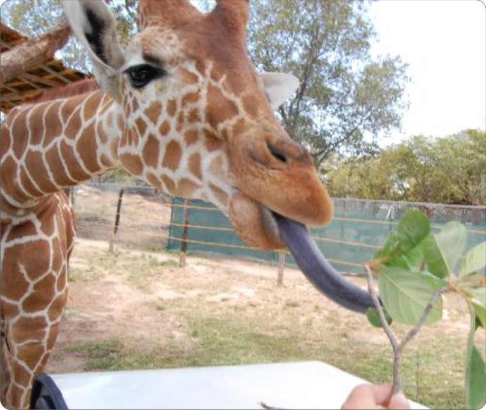 Giraffe tongue - photo#2
