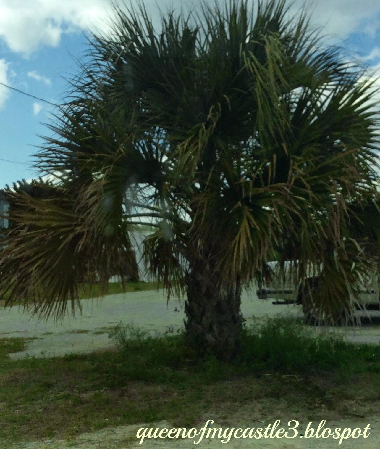 SC Palm Tree