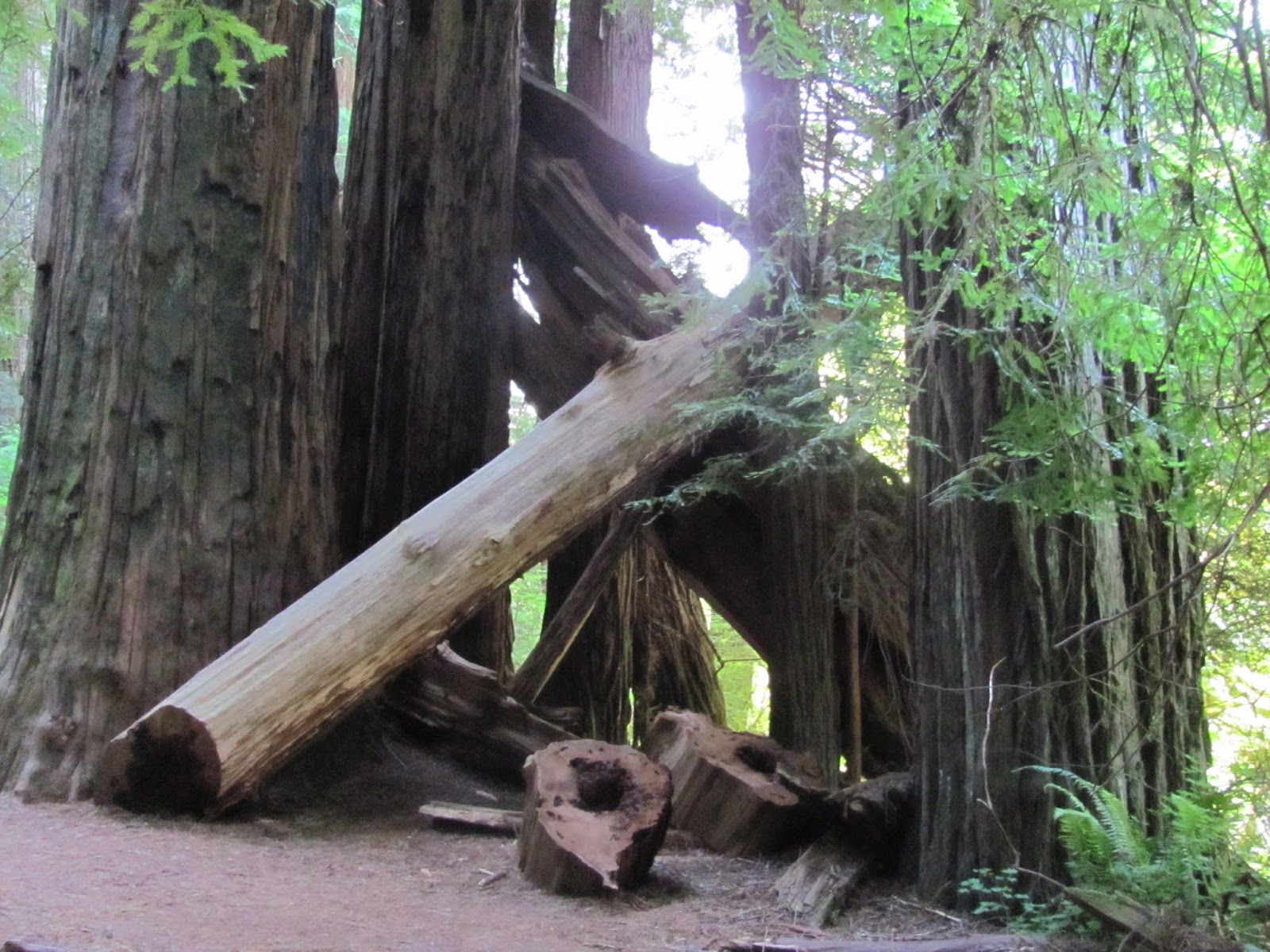 Several half-fallen trunks stand in Jedediah Smith State Park, California