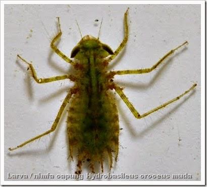 Gambar Larva Capung Untuk Umpan Mancing Ikan Bawal | Tips Trik Jitu Meracik Umpan Bawal
