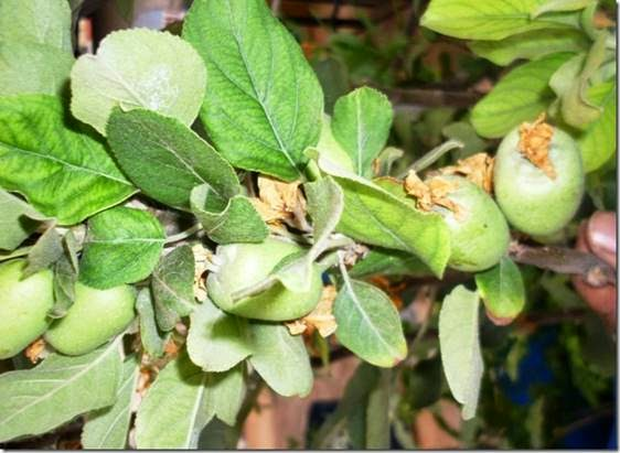 Apple trees flowering and budding in Vizag Vishakapatnam Andhra Pradesh