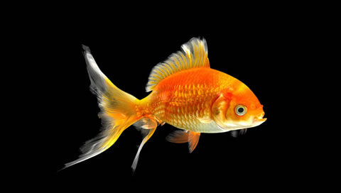 Hd Wallpapers Of Goldfish Mobile Wallpapers