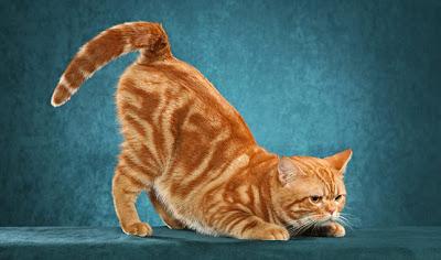 Brown American Shorthair Cat