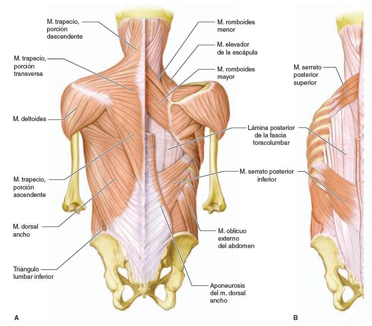 Anatomía Topográfica Humana - Kinesiología para Estudiantes
