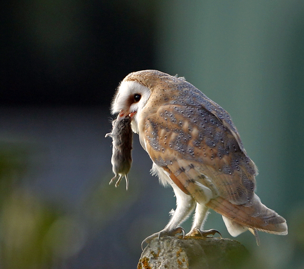 pin barn owl food web image search results on pinterest ForFood Bar Owl
