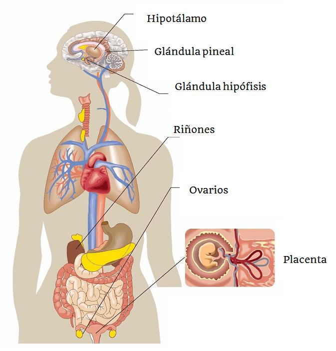 Organización del Sistema Endocrino - Biología Escolar