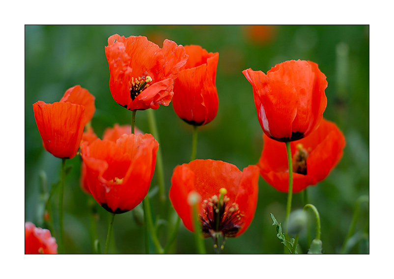 Poppy flower meaning flower meaning poppy flower meaning flower yellow poppy flower meaning home design architecture cilif com mightylinksfo Gallery