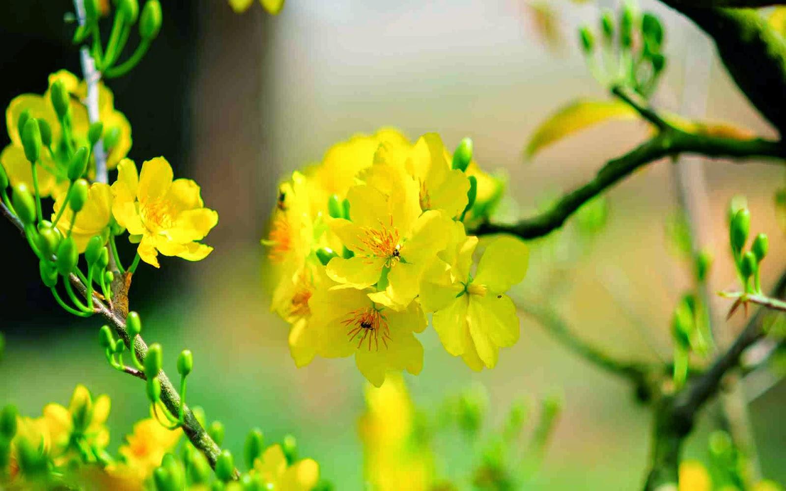 tải hình nền hoa mai đẹp nhất