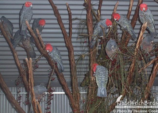 colony gang gang cockatoo feeding breeding jadewelchbirds jade welch birds