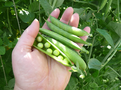 Spanish Skyscraper Peas
