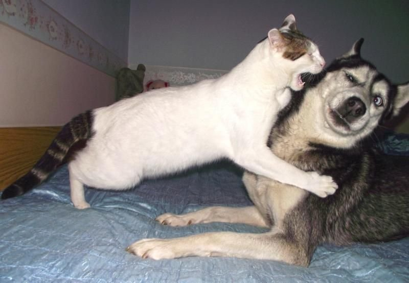 Кот и собака дерутся