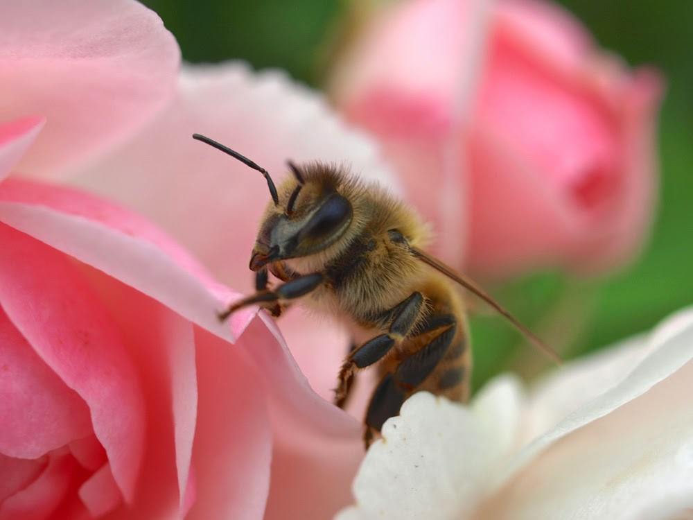 Happy Honeybee amongst Roses