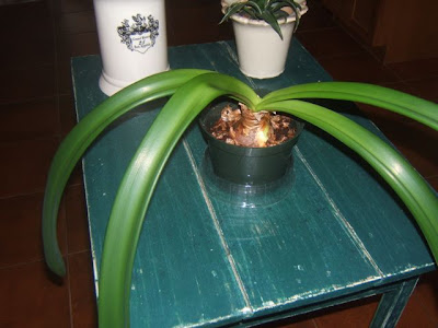 Amaryllis Tips