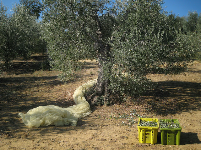 One tree and two cases of olives