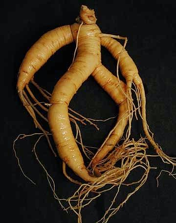 Mitos Mandrake: Tumbuhan Aneh Berbentuk Manusia