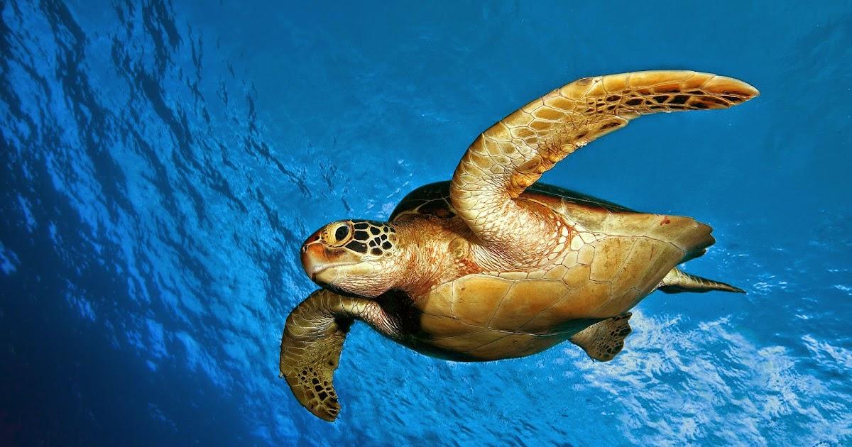 The Hawksbill Sea Turtle Eretmochelys on Sea Turtle
