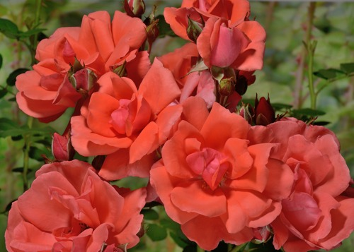 Blaze of Glory rose сорт розы фото