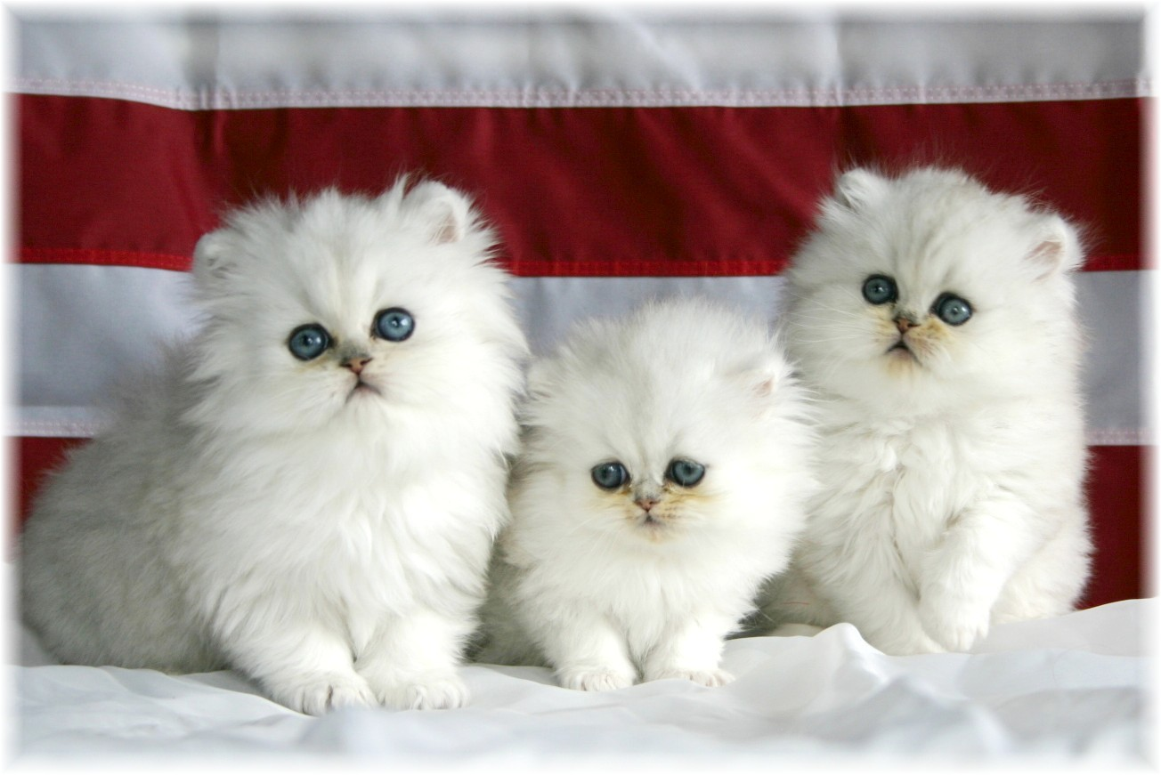 Volim bijelo - Page 36 Beautiful+White+Cute+Cat+Pictures+%253A+Photos+%253A+Wallpapers+12