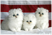 Cute AnimalWhite Cat Wallpapers