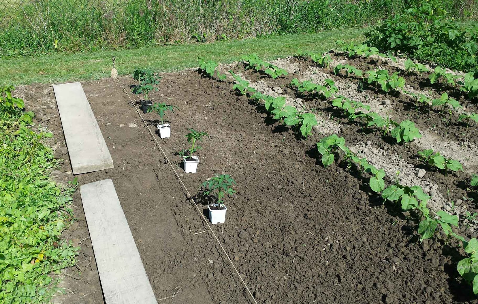 At what distance to plant tomatoes in the open field and in the greenhouse At what distance to plant low-growing and tall tomatoes 28