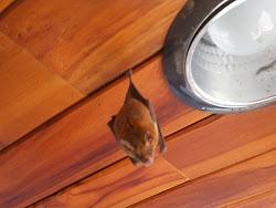 little fruit bat