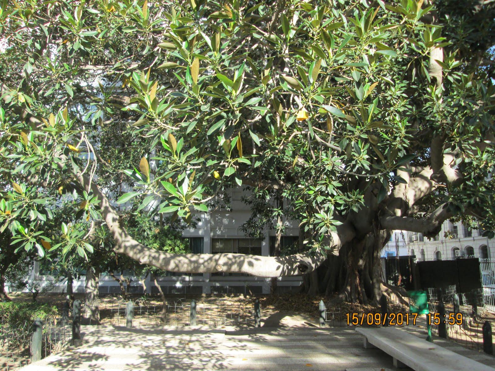 شجرة مَهيبة، شارع باريس، تونس العاصمة.