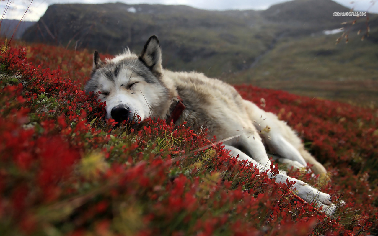 hd wolf pictures wolf wallpapers hd animal wallpapers