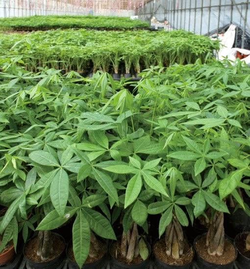 Jual Pachira | aneka tanaman | aneka rumpu | supier tanaman | jasa desain taman